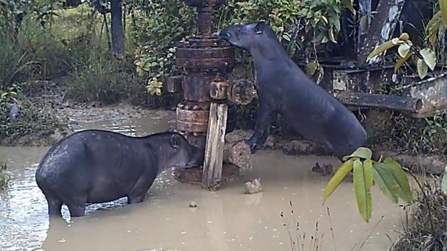 Sachavacas en pozos petroleros mal abandonados demuestran la contaminación de animales. Foto: Fediquep.